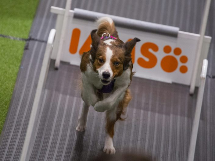 Crufts 2018 - Flyball